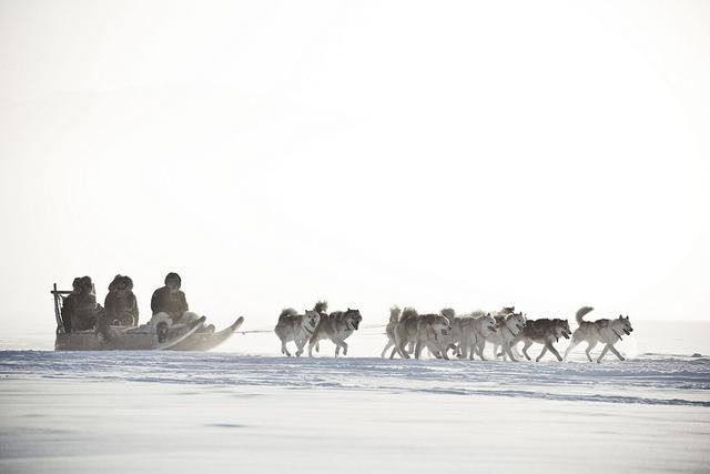 slædehunde på grønland