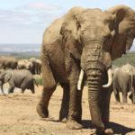 Elfenbenskysten - elefant