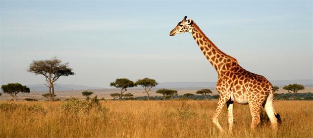 Giraf i Afrika
