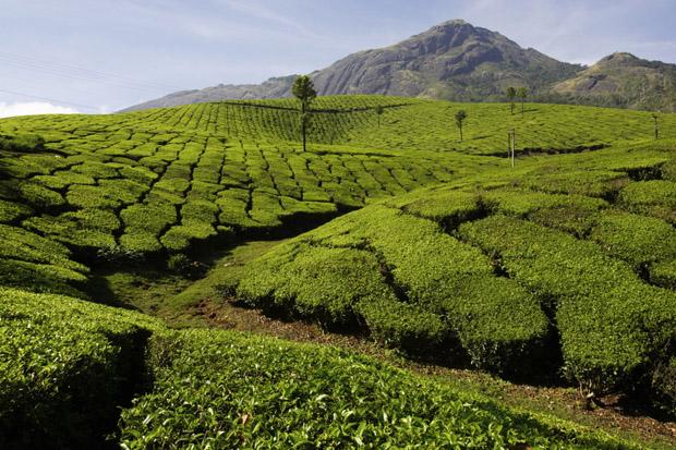 Teplantage i Indien